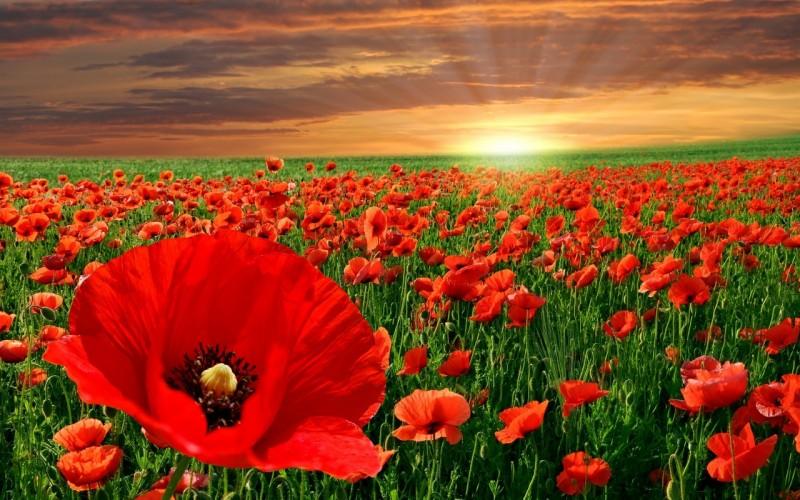 Poppies for Veteran's Day | The Art Junction